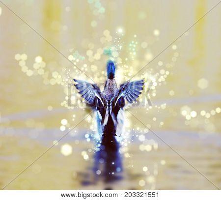 Mallard duck - Anas platyrhynchos - fly out of yellow water. Bird scene. Shimmering scene.