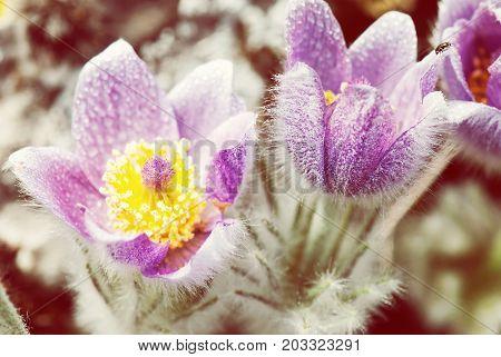 Dewy purple Pulsatilla slavica in spring meadow. Beauty photo filter. Seasonal natural scene.