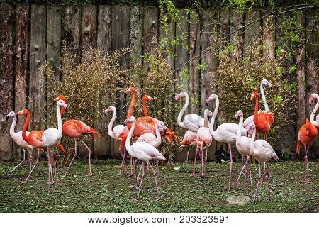 Colony of flamingos. Animal scene. Vibrant colors. Wading birds. Beauty in nature.