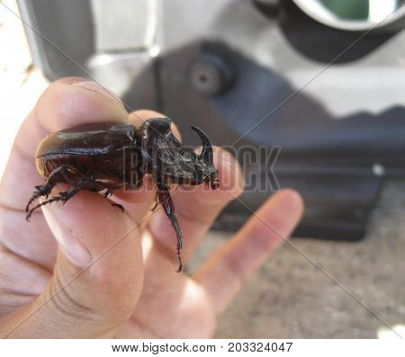 A Rhinoceros Beetle In A Human Hand. A Large Beetle With A Horn