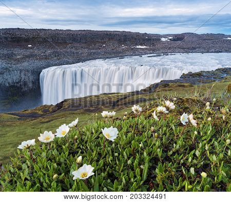 Dettifoss Waterfall, Iceland, Europe. Summer landscape with river and canyon. White flowers in the foreground. Beauty in nature