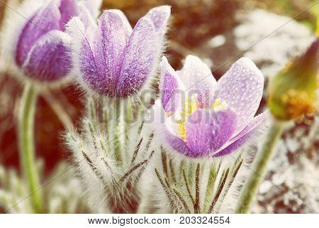 Flowering dewy Pulsatilla slavica flowers in spring meadow. Beauty photo filter. Seasonal natural scene.