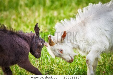 young and adult goats fighting in the farmyard