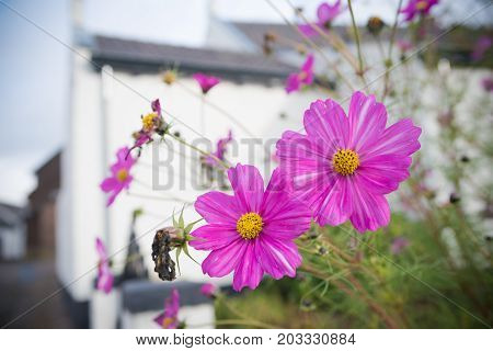 beautiful pink daisy flowers in front of a white house
