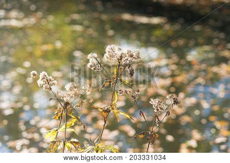 fluffy autumn flowers in front of a pond