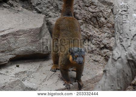 Distinctive Brown Collared Lemur Ready to Jump