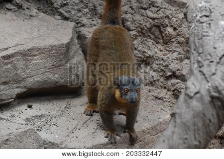 Adorable Brown Collared Lemur Ready to Jump