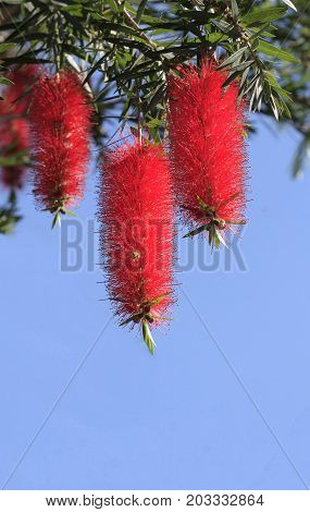 three red bottlebrush flowers hanging from a tree