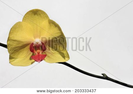 one yellow orchid flower on a white background
