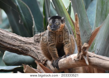 Precious Image of a Collared Lemur in Nature