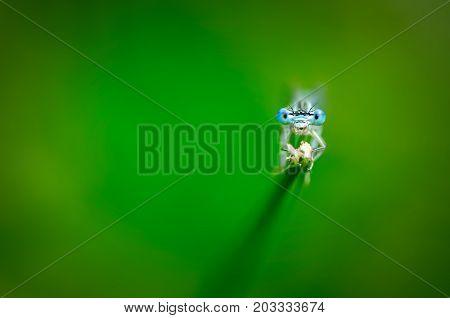 Beautiful Dragonfly Platycnemis Pennipes - White-legged Damselfly