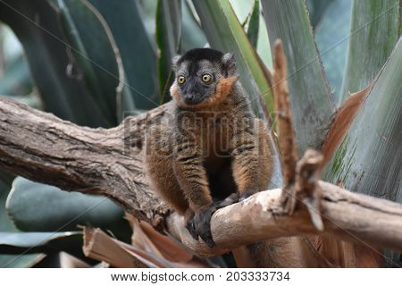 Precious Little Collared Lemur Balancing on a Branch