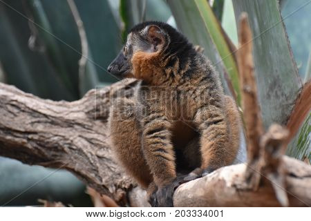 Breathtaking Close Up of a Collared Lemur in Nature