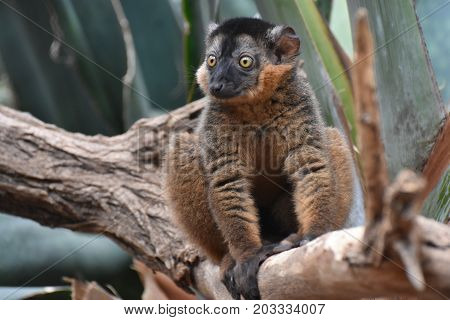 Breathtaking Image of a Brown Collared Lemur