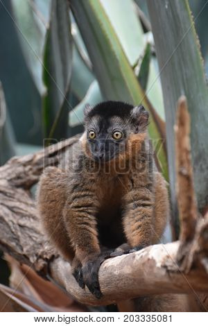 Captivating Close Up of a Cute Collared Lemur