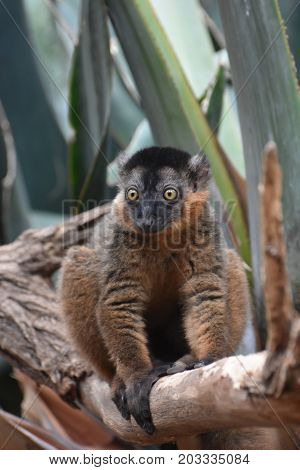 Captivating Image of a Collared Lemur in Nature