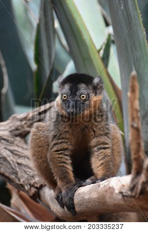 Gorgeous Collared Lemur with Amazing Yellow Eyes