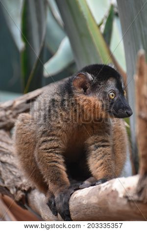 Stunning Little Brown Collared Lemur in Nature