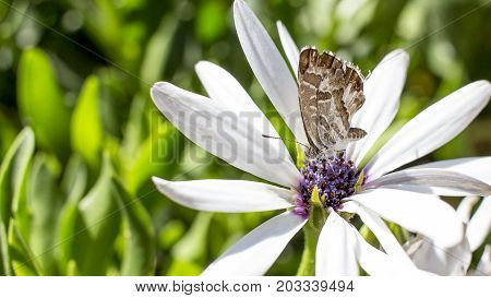 Butterfly of geranium  ( Cacyreus marshalli )