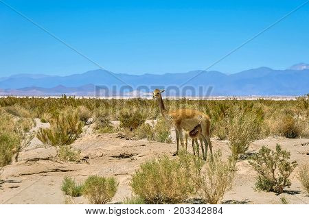 A lama mother feeds her child in northern Argentina