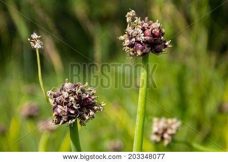 Tree Onions, Topsetting Onions, Walking Onions Or Egyptian Onions ( Allium Proliferum )