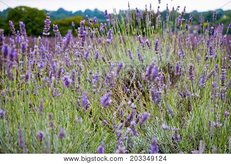 View Of Lavender At The Mayfield Lavender Farm