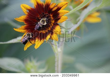 Buzzy bumble bee gathering pollen from a beautiful Sunflower during the summer month of August.