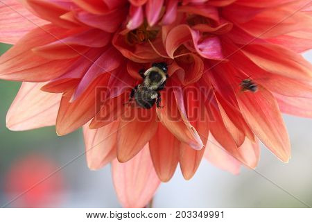 Summer time pollen inspection of flower by fuzzy bumble bee