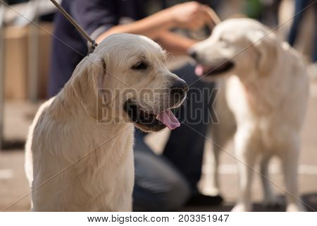 Golden Retriever At A Dog Show
