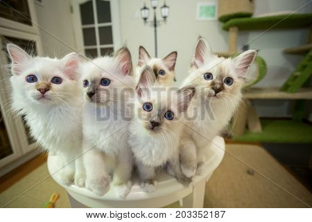 Many Kittens Of Sacred Burma On The Table