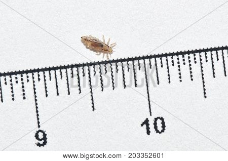 Head Louse On A White Background Next To A Ruler With Centimeter