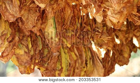 Tobacco Leaves Drying On The Morning Sun