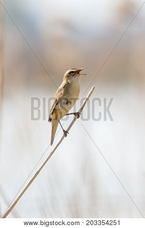 singing eurasian reed warbler on a small branch