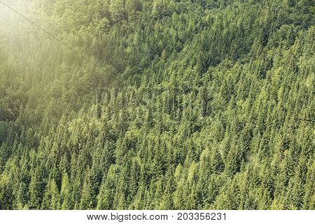 Healthy coniferous trees growing in the national park. Beautiful green conifers and foliaceous forest. Lungs of the world.
