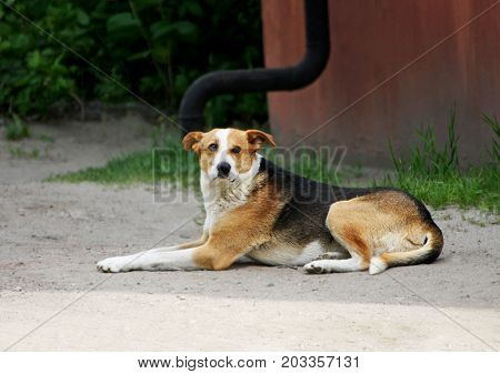 Portrait of a dog. A stray dog lies on the ground and looking forward.