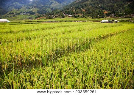 green rice fields in Ta Phin village, Sa Pa, Vietnam