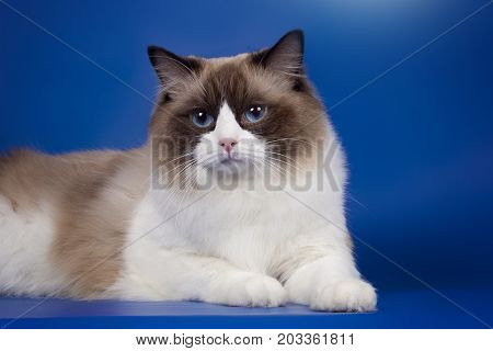 Portrait of a fluffy cat ragdoll of a character with blue eyes.