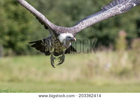 Ruppells Griffon vulture (Gyps rueppelli) flying head on. Close up of African scavenger bird in flight.