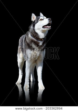Husky dog stays isolated on black background