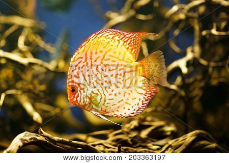Discus Symphysodon spp. , freshwater fish native to the Amazon River. High quality image.