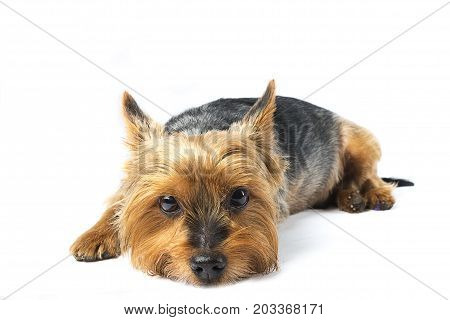 Close up of cute yorkshire terrier dog on white background