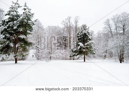 Bright Sunny Pine Forest Covered With Snow In Winter