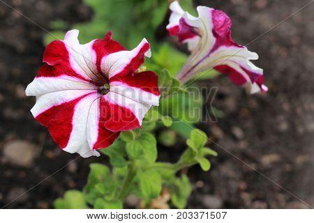 Beautiful Red White Petunias hybrid in garden