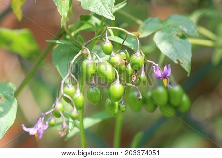 Purple with yellow flower of the Nightshade (Solanum dulcamara) plant with green berries, growing in S.E. Ontario. Can be toxic to humans.