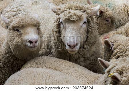 Two Sheep in a sheep herd of Cornish Sheep England.