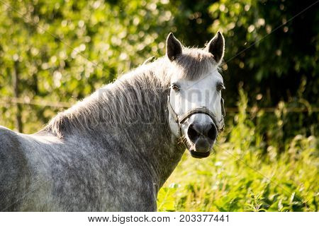 Portrait Of Gray Pony In Summer