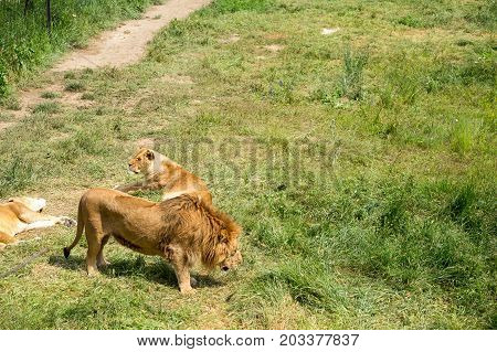 Lion With A Lioness On The Grass
