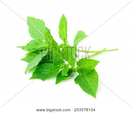 hoary basil or basilicum on white background ingredient for cooking