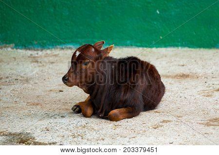 bull calf lying on the ground in zoo