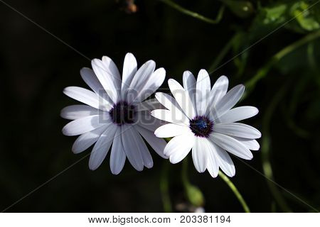 Two white summer flowers with a dark background